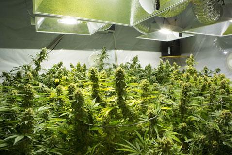 """Dins dels plans de l'executiu que queden recollits en el document anomenat Horitzó 2023, el president del grup parlamentari demòcrata, Carles Enseñat, va reconèixer ahir que el cànnabis medicinal figura com una de les alternatives de futur per fomentar el sector primari del país . """"Pot ser una bona aposta"""", va admetre Enseñat, partidari d'ampliar els cultius de l'agricultura perquè """"el pes del tabac sigui menys pronunciat"""".  De fet, el conseller de DA va afirmar que """"el Govern ja treballa en aquesta línia"""" i va descartar que el seu ús """"en cap cas"""" serà recreatiu. """"No hi tanquem la porta, els pagesos i el sector del tabac estan interessats en aquesta proposta"""", va subratllar Enseñat durant les valoracions de la coalició parlamentària del nou full de ruta pel que resta de legislatura. A més, el president del grup parlamentari va recalcar que la seva introducció s'hauria de fer de forma prudent."""